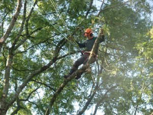 Tree Pruning and felling